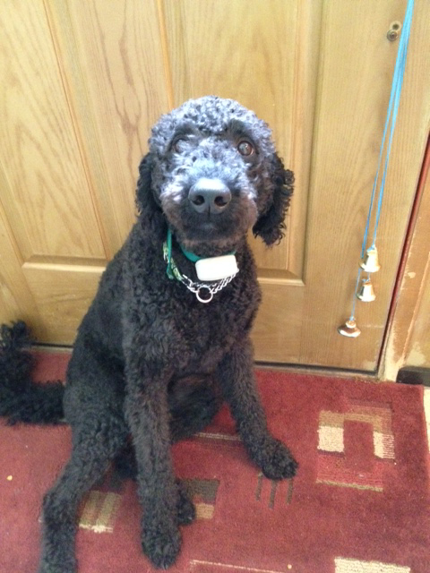 Tera - 1 Year old Labradoodle